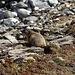 Beim Abstieg habe ich einige Murmeltiere gesehen.