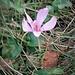 Colchicum autumnale L.<br />Colchicaceae<br /><br />Colchico d'autunno<br />Colchique d'automne<br />Herbst-Zeitlose