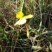 Helianthemum nummularium L. (Mill.)<br />Cistaceae<br /><br />Eliantemo maggiore<br />Hélinthème nummulaire<br />Gemeines Sonnenröschen