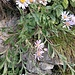 Aster amellus L.<br />Asteraceae<br /><br />Astro di Virgilio, Amello<br />Aster amelle<br />Berg-Aster