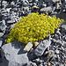 Bewimperter Steinbrech, ein Farbtupfer in der Gerölllandschaft