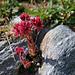 Spinnweben-Hauswurz (Sempervivum arachnoideum).