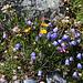 Walliser Alpenblumenstrauss in natürlicher Umgebung :-)