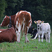 Kuhfamilie auf dem Marenacher.