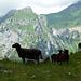 Schafe vor dem Dejenstock