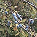 Prunus spinosa L.<br />Rosaceae<br /><br />Prugnolo, Pruno selvatico<br />Epine noir, Prunellier<br />Schledorn, Schwarzdorn