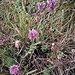 Centaurea scabiosa L.<br />Asteraceae<br /><br />Fiordaliso vedovino<br />Centaurée scabieuse<br />Gewöhnliche Skabiosen-Flockenblume