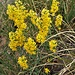 Solidago virgaurea L. subsp.virgaurea<br />Asteraceae<br /><br />Verga d'oro comune<br />Solidage verge d'or<br />Gewöhnliche Goldrute