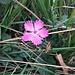 Dianthus seguieri Vill.<br />Caryophyllaceae<br /><br />Garofano di Séguier<br />Oeillet de Séguier<br />Seguiers Nelke
