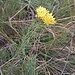 <br />Aster linosyris (L.) Bernh.<br />Asteraceae<br /><br />Astro spillo d'oro<br />Aster linosirys<br />Gold-Aster