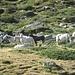 I cavalli al Passo del Bernina: Frei lebende Pfere im Sozialverband im Sommer