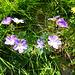 Storchenschnabel [Geranium pretanse].