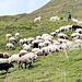 Die Herdenschutzhunde warten schon. Drei Hunde für etwa 300 Schafe und keine Probleme mit Wölfen