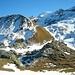Aussicht von einer Anhöhe oberhalb vom Jochpass (2207m) aufs Ochsenhorn (2343m). Hinter den Ochsenhorn sind der höchste Nidwalder (Rotstöckli; 2901m); und der höchste Obwalder (Titlis; 3238,3m) zu sehen. Rechts vom Tiltlis ist der Klein Titlis (3061m) mit seinem Fernsehturm.