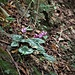 <br />Cyclamen purpurascens Mill.<br />Primulaceae<br /><br />Ciclamino delle Alpi<br />Cyclamen d'Europe<br />Europäisches Alpenveilchen, Gemeine Zyklame, Erdscheibe