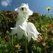 Bärtige (?) Glockenblume