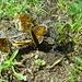 Esst Vogeldreck, sechs Schmetterlinge können nicht irren!