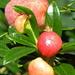 Alpenrose. Mir war bisher nicht bekannt, dass die Alpenrosen nach der Blütezeit eine Art Früchte tragen.