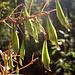 Die Blüten davon hatte ich neulich schonmal im Visier und dachte, es wäre eine Orchideenart, dabei ist es schlichtweg die Blüte des Springkrautes, wo die Samenkapseln (im Bild) so nett zippeln, wenn man sie berührt. Das hatte uns als Kinder schon ein Heidenspaß gemacht. Das Drüsige Springkraut (Impatiens glandulifera), oft Indisches Springkraut, auch Rotes Springkraut oder Himalaya-Balsamine, früher auch Bauernorchidee oder Riesenbalsamine genannt