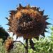 Sonnenblumen in verschiedenen Stadien