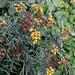 Immerhin erfreut auf dem finalen Wegstück der Gemeine Rainfarn (Tanacetum vulgare  L.) noch unsere Augen.