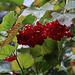 Früchte vom Gewöhnlichen Schneeball (Viburnum opulus) im Wald am Wegrand auf dem Fluhberg.