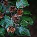 Die Nüsse der Rotbuche (Fagus sylvatica) haben ihre Samen schon grösstenteils ausgeschüttet.