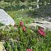 Ultime fioriture di rododendri