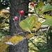 Die roten Früchte der Elsbeere