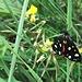 erfreuliche Begegnung mit schmuckem Schmetterling ...