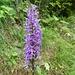 hübsche Orchidee - auf dem Weg ...