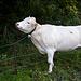 Am letzten Abschnitt zurück zum AP, dem Bazora-Höhenweg, hat eine Kuh sich eine Kratzstelle gesucht