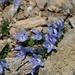 so anmutig, deshalb ein zweites Mal: die Mont-Cenis-Glockenblume