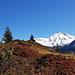 Herbstliche Heidelbeersträucher vor dem verschneiten Piz Tomül
