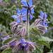 Noch ein herrlicher Blaublütler<br />edit: Borretsch (Borago officinalis), auch Boretsch geschrieben, auch Gurkenkraut oder Kukumerkraut