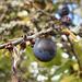 Schlehdorn (Prunus spinosa), auch Schlehendorn, (Gemeine) Schlehe, Sauerpflaume, Heckendorn, Schwarzdorn oder Deutsche Akazie genannt