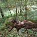 alter Baumrest mit Schößling, der direkt daraus erwächst