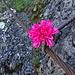Die Blume ist wohl für die Wegbereiter gedacht
