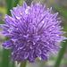 Wilder Schnittlauch in voller Blüte