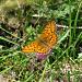 Schmetterling, im geschätzten 15. Versuch endlich erwischt ;-)