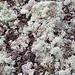 <b>Di tutte le essenze che ho osservato, oggi quella che più di tutte mi hanno incantato è un bellissimo lichene fruticoso, biancastro, forse lichene islandico, che ricopre la terra nuda ai margini del sentiero. </b>