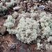 <b>Lichene fruticoso.</b>