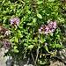 <br />Thymus serpyllum aggr.<br />Lamiaceae<br /><br />Timo comune<br />Thym serpolet <br />Feld-Thymian, Quendel, Chölm