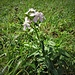 Saponaria officinalis L. <br />Caryophyllaceae<br /><br />Saponaria comune<br />Saponaire officinale <br />Echtes Seifenkraut