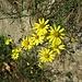 Senecio gallicus Vill. <br />Asteraceae<br /><br />Senecione gallico<br />Séneçon de France <br />Französisches Greiskraut