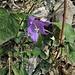 <br />Campanula trachelium L.<br />Campanulaceae<br /><br />Campanula selvatica<br />Campanule gantelée <br />Nesselblättrige Glockenblume
