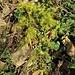 Asparagus officinalis L.<br />Asparagaceae<br /><br />Asparago comune<br />Asperge officinale <br />Gemüse-Spargel