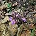 Clinopodium vulgare L.<br />Lamiaceae<br /><br />Clinopodio dei boschi<br />Sarriette clinopode <br />Wirbeldost