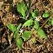 <br />Solanum chenopodioides Lam.<br />Solanaceae<br /><br />Morella gracile<br />Morelle sublobée <br />Zierlicher Nachtschatten