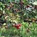 Aronia arbutifolia (L.) Pers.<br />Rosaceae<br /><br />Aronia<br />Aronie à feuilles d'arbousier, Aronia rouge<br />Filzige Apfelbeere